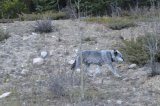 Wolf on the Icefields Parkway 2