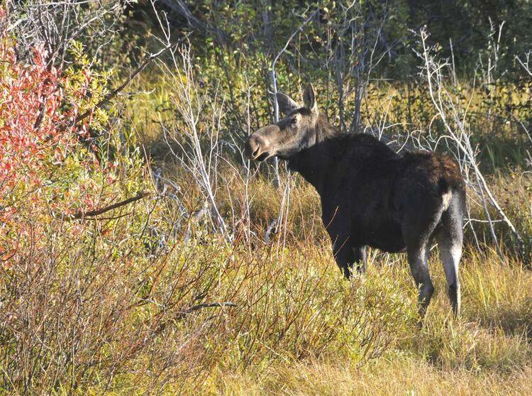 Moose at Moose