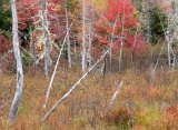 Falling Fall Trees
