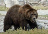 Bear Study