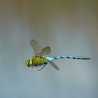 Emperor dragonfly 2