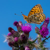 Fritillary butterfly 4