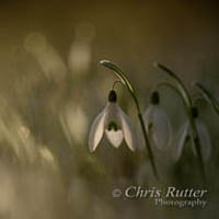 Backlit snowdrops
