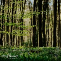 spring trees blubells 2