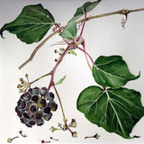 Ivy Berries