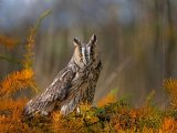 1st Place A Section Prints Long Eared Owl David Taylor