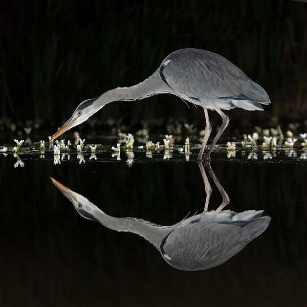 1st Place DPI Section Grey Heron at night by Steve Hitchen