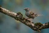 1st Place PDI Dunnock by Steve Hitchen