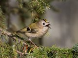 1st Place PDI Gold Finch singing by David Taylor