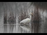 1st Place PDI Great  White Egret by Steve Hitchen