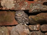 1st Place PDI Little Owl in stone wall by David Taylor