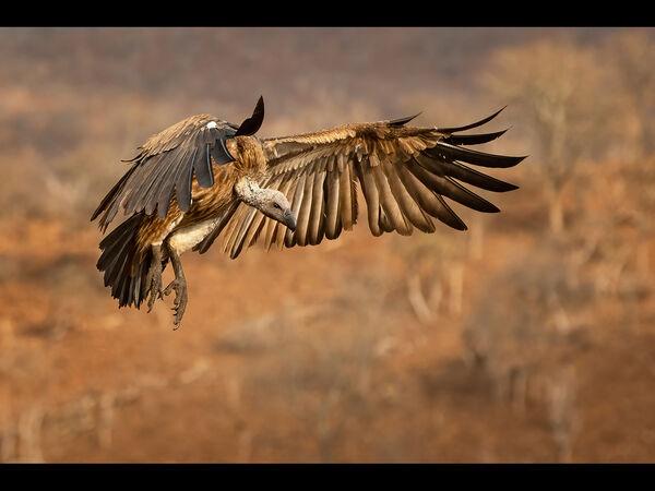 1st Place PDI Vulture by Steve Hitchen