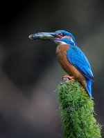1st Place Print Section Kingfisher with fish by Steve Hitchen