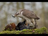 2nd Place DPI Goshawk feeding on crow by Andrew Collins