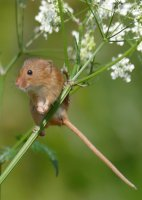 2nd Place Prints Harvest Mouse on cow parsley by Phil Green