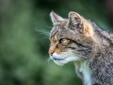 3rd Place DPI Portrait of Scottish Wild Cat by Derek Smith