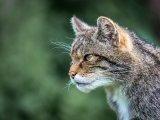 3rd Place DPI Portrait of Scottish Wild Cat by Derek Smith