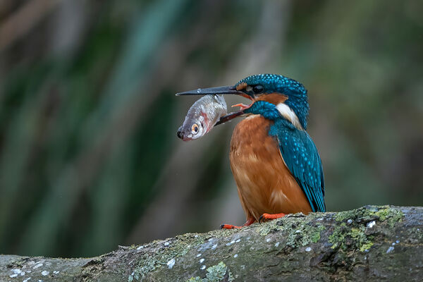 3rd Place DPI Section Kingfisher with fish by Steve Hitchen