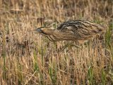 3rd Place PDI Bittern Stalking by Steve Hitchen