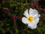 3rd Place PDI European White Rock-Rose by  Keith Wright