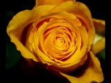 3rd Place PDI Yellow Rose by Phil Halliwell