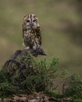 Autumnal Tawny Owl; 1st place in B section by Derek Smith