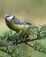Blue Tit on Scots Pine; 2nd place in Digital section by Phillip Green