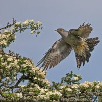 Cuckoo Landing on Black Thorn 1st place in digital section by David Taylor