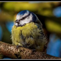 Fledgling Blue Tit; 3rd place in Digital section by Steve Taylor
