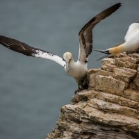 Gannet showing aggression;  2nd place A section prints; by David Taylor