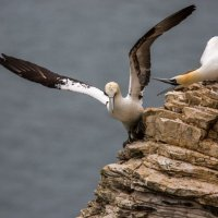 Gannet showing aggression