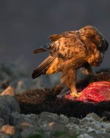 Golden Eagle in final Rays; 2nd place in A section; by Steve Hitchen