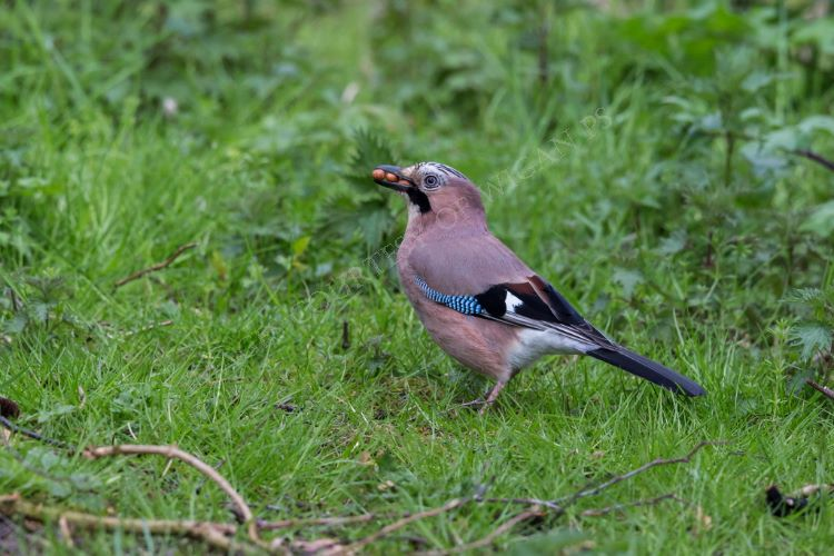 Jay collecting nuts