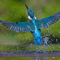 Kingfisher Rising; 2nd place in A section prints by Steve Hitchen
