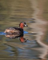 Little Grebe; 1st place in Digital section; by David Taylor