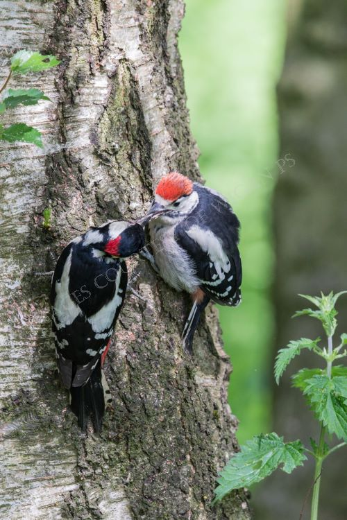 Male Greater Spotted Woodpecker feeding juvenile