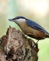 Nuthatch on Rotted stump; 1st place in B section prints; by Phillip Green