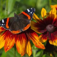 Red Admiral; 1st in digital section; by Andrew Collins