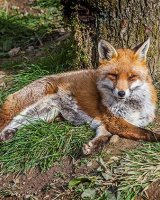 Sleepy Fox; 2nd place in A section prints; by Derek Swift