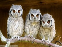 Southern white-faced Owls