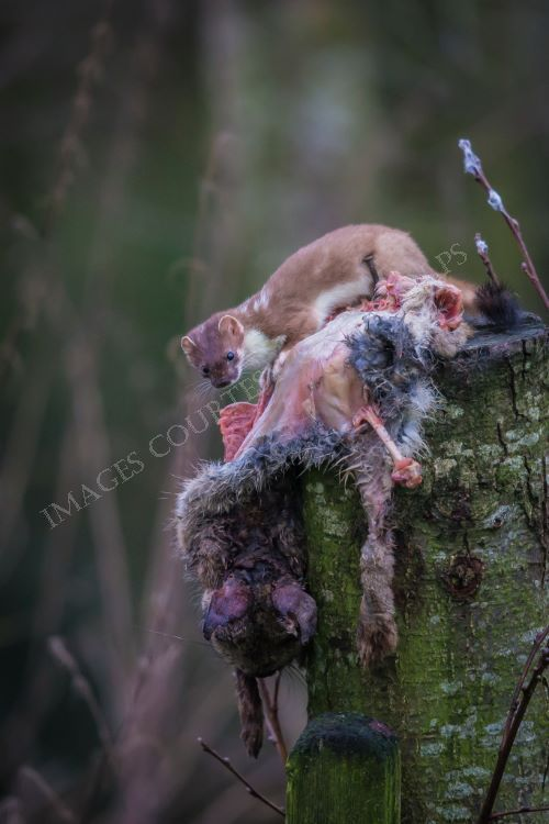 Stoat taking an easy meal