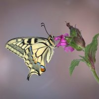 Swallow Tail Butterfly; 1st place in Digital section by David Taylor