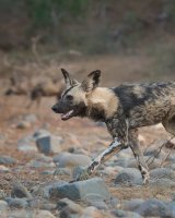 Wild Dog Hunting; 2nd placed in Digital section; by Steve Hitchen