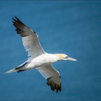 Young Gannet in Flight; Joint 3rd in A section prints; by Derek Swift