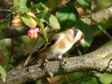 autumn goldfinch