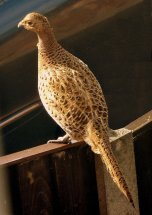 female pheasant on the fence