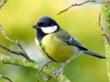 great tit at rest