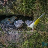 grey wagtails feeding chicks; joint second in digital section; by Dave Taylor