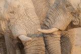 Elephants socialising
