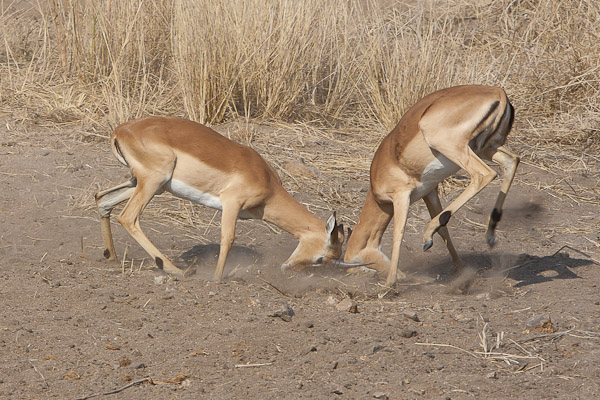 Young male impala rutting